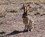 Lepus rabbit